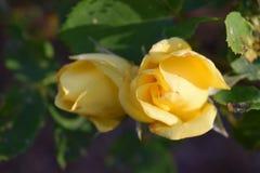 精美黄色开花的玫瑰色芽 库存图片