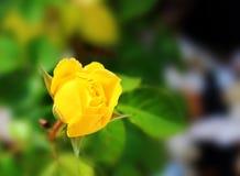 精美黄色玫瑰开花 免版税库存照片