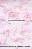 精美janapese樱桃开花在浅粉红色的木背景的瓣 免版税库存照片