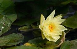 精美waterlily黄色 库存照片