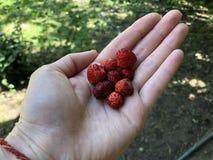 精选小野草莓在手中放置 库存图片