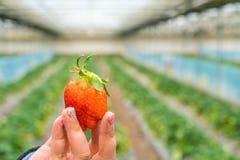 精选的新鲜的草莓 图库摄影
