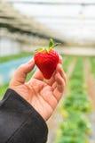 精选的新鲜的草莓 库存照片