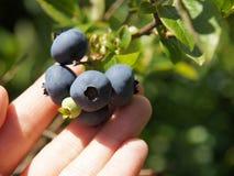 精选蓝色莓果 免版税图库摄影