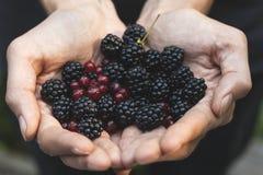 精选黑莓和红醋栗 库存图片
