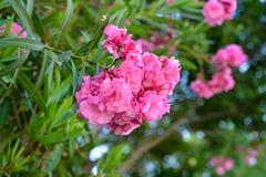 精采地开花在夏天的美丽的桃红色花 免版税库存照片