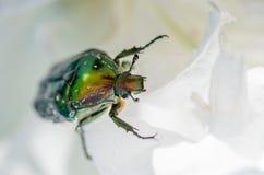 精采甲虫cetonia aurata沿花爬行 免版税库存图片