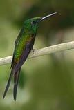 精采的女皇, Heliodoxa imperatrix,美丽的蜂鸟在自然栖所 与长尾巴的绿色鸟从厄瓜多尔 免版税库存图片