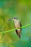 精采的小鹿breasted, Heliodoxa rubinoides,从厄瓜多尔的蜂鸟 逗人喜爱的鸟坐一朵美丽的绿色花,热带f 库存图片