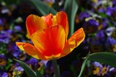 精采红色和黄色镶边开花的郁金香开花 免版税库存照片