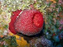 精采红色海绵花瓶 免版税库存照片