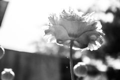 精采红色鸦片花在庭院里 库存图片