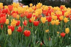 精采红色黄色tullips在庭院里 库存照片