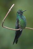 精采肋前缘绿色蜂鸟rica 库存图片