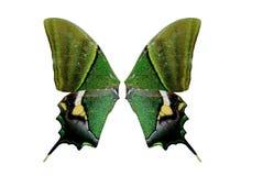 精采蝴蝶绿色 免版税库存照片