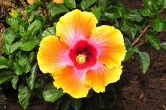 精采黄色,桃红色和红色木槿开花 库存图片