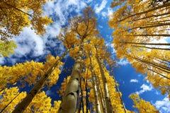 精采黄色亚斯本树叶子秋天机盖在秋天的在科罗拉多落矶山  库存照片
