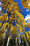 精采黄色亚斯本树叶子秋天机盖在秋天的在科罗拉多落矶山  免版税库存照片