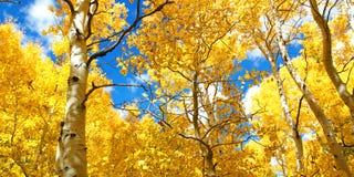 精采黄色亚斯本树叶子秋天机盖在秋天的 库存照片