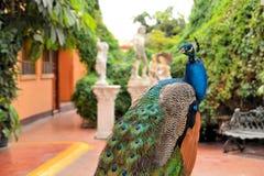 精采绿色美丽的孔雀 免版税库存照片