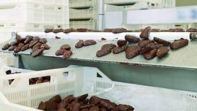 糖果工厂 说谎在传动机的巧克力糖 股票视频
