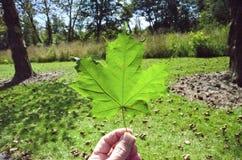 糖槭叶子 免版税库存照片