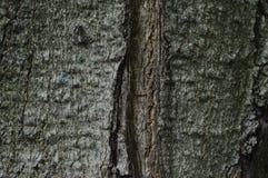 糖槭 库存照片
