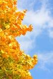 糖槭(Acer蔗糖)。 库存图片