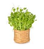 糖荚豌豆堆发芽或在竹篮子的Toumyou新芽 库存照片