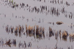 糙米背景在泰国。 免版税库存图片