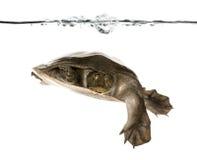 系列壳软的trionychidae乌龟 库存图片