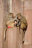 系列猴子 免版税图库摄影
