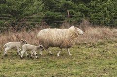 系列绵羊 免版税库存照片