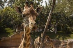 系列长颈鹿孩子妈咪 库存图片
