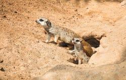 系列Meerkat,出去从他们的漏洞 库存图片
