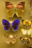 系统的古色古香的蝴蝶收藏 库存图片