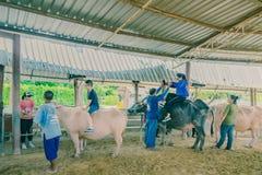 素攀泰国- 4月2日:不明身份的游人在4月2,2019设法学会乘坐水牛在泰国水牛城保护 免版税库存照片