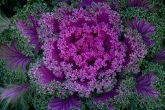 素食饮食的紫色莴苣 库存照片