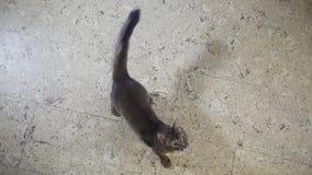 索马里跃迁小猫在照相机 股票视频