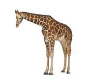 索马里长颈鹿 免版税库存图片