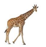 索马里长颈鹿 库存照片
