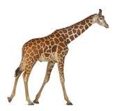 索马里长颈鹿 图库摄影