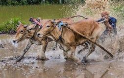 紧固他们的骑师bitting的公牛尾巴在泥泞的领域, Pacu Jawi公牛种族节日 图库摄影