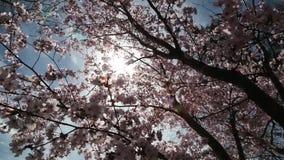 紧密佐仓或樱花日本春天花佐仓桃红色樱桃花 影视素材