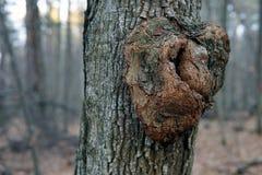 紧密生节在树的吠声 免版税库存照片