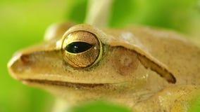 紧密金黄雨蛙宏观头和眼睛静止 股票录像
