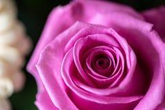 紧密高度详细的射击一朵桃红色美丽的玫瑰 库存照片
