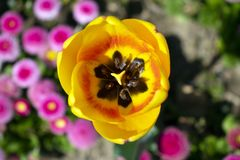 紧密,在黄色郁金香花上照片  免版税图库摄影