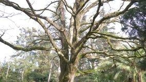 紧密,4k,慢动作 一棵巨型树的树干和分支,分支用青苔报道 影视素材