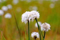 紧密Scheuchzer的Cottongrass,Hrafnafifa,冰岛 库存图片